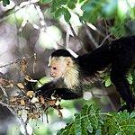 Capuchin monkeys are a common sight in Palo Verde