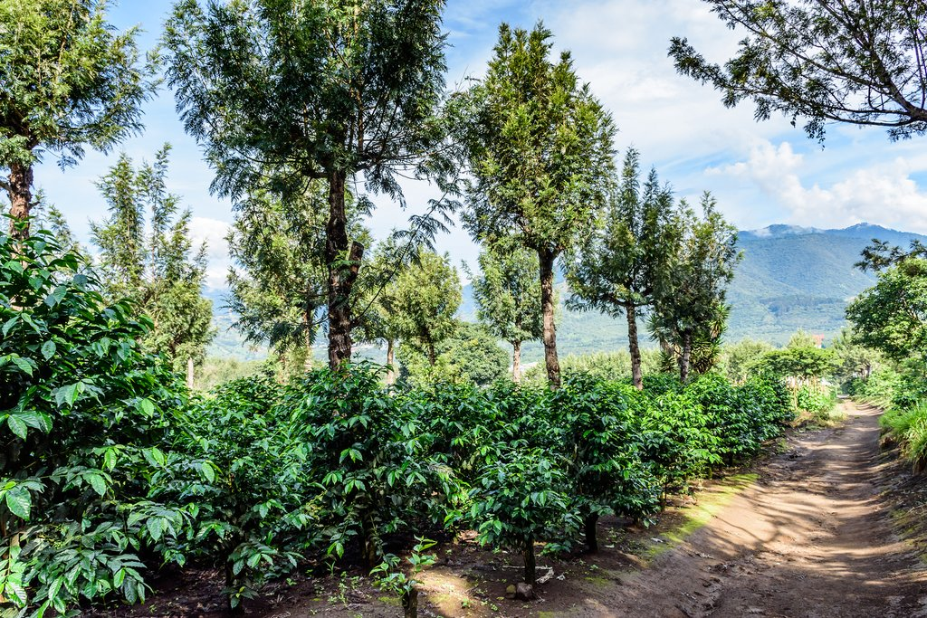 Coffee plantation near Antigua, Guatemala