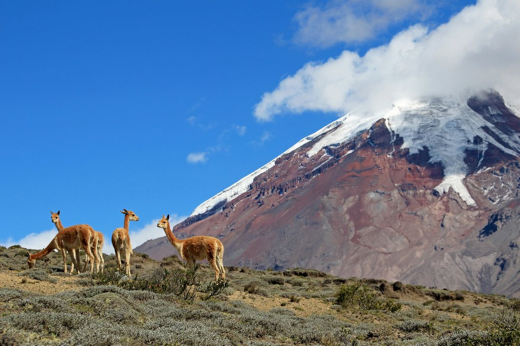 Vicuñas and Mount Chimborazo