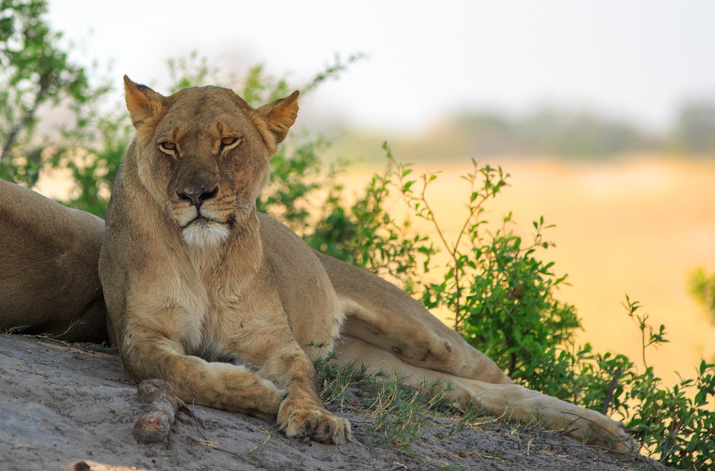 Lionesss relaxing in Hwange National Park