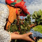 Grape harvesting in Guerrouane