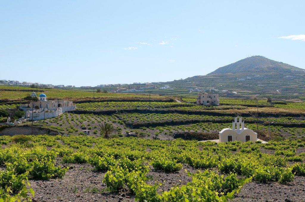 Vineyards on Santorini