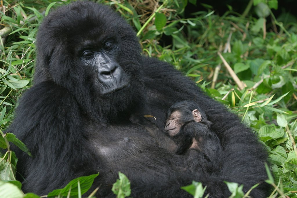 A mountain gorilla with her infant