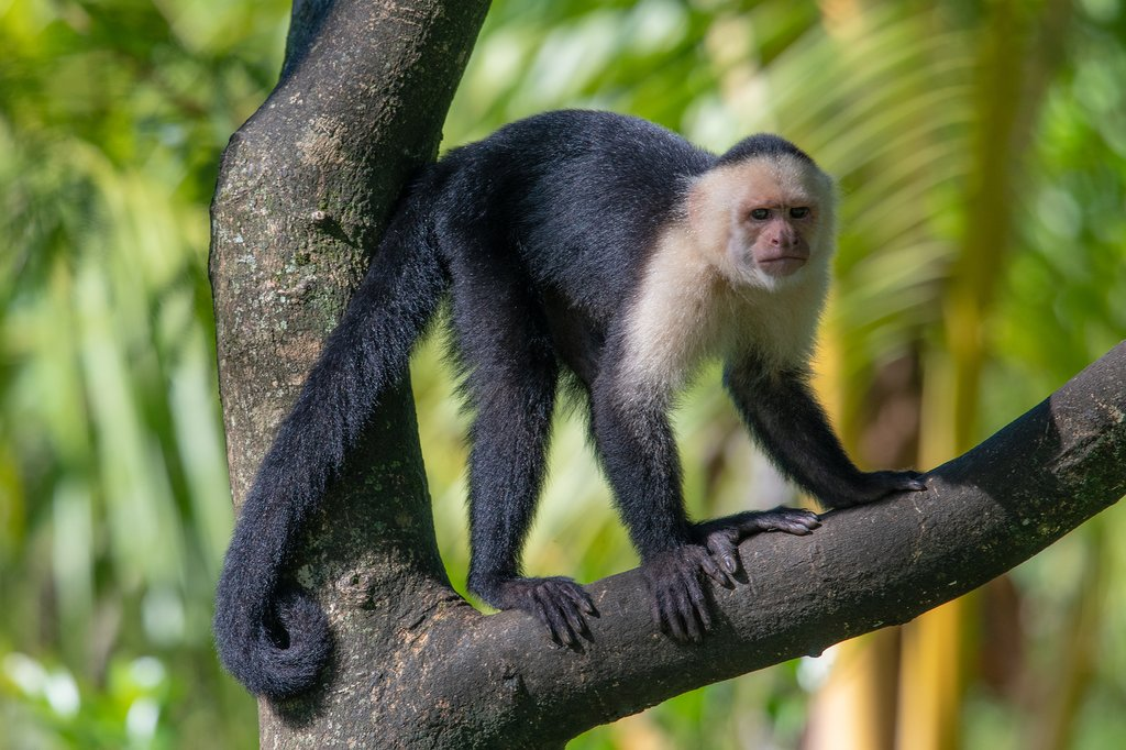 Spot the white-faced capuchin monkey on a tour of Manuel Antonio National Park