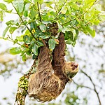 The center nurses three-toed sloths back to health