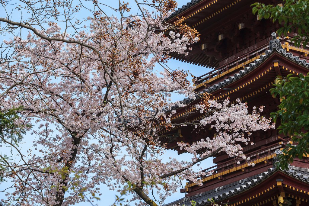 Cherry Blossoms and Pagoda in Tokyo's Ueno Park