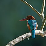 White-throated kingfisher perched on a branch, Bardia National Park