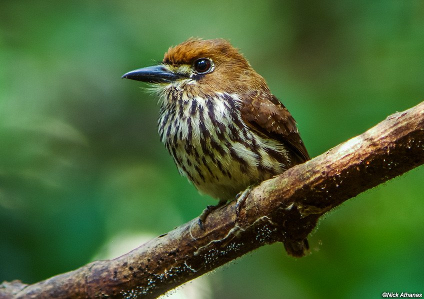 The lanceolated monklet, a type of puffbird