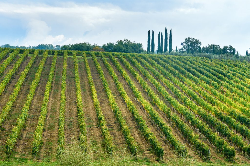 A vineyard in Chianti, Tuscany