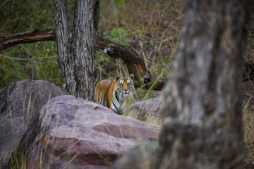 Today's your last chance to see a Bengal Tiger before we return to Delhi