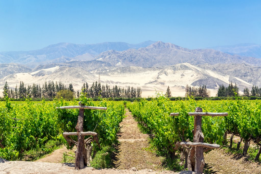 Rows of grape vines in front of the sandy hills