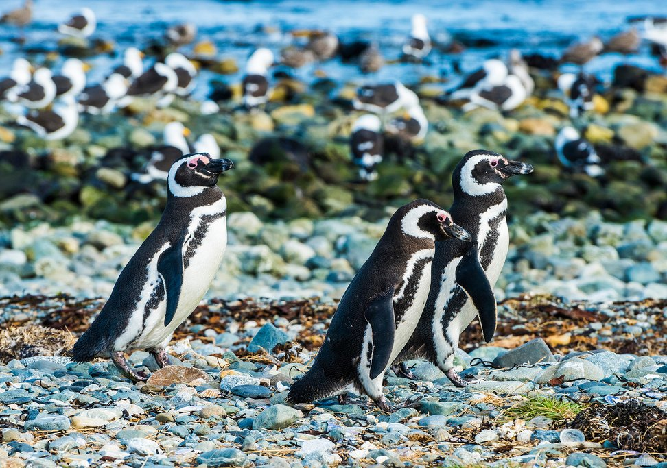 The colony of penguins on Isla Magdalena is enormous