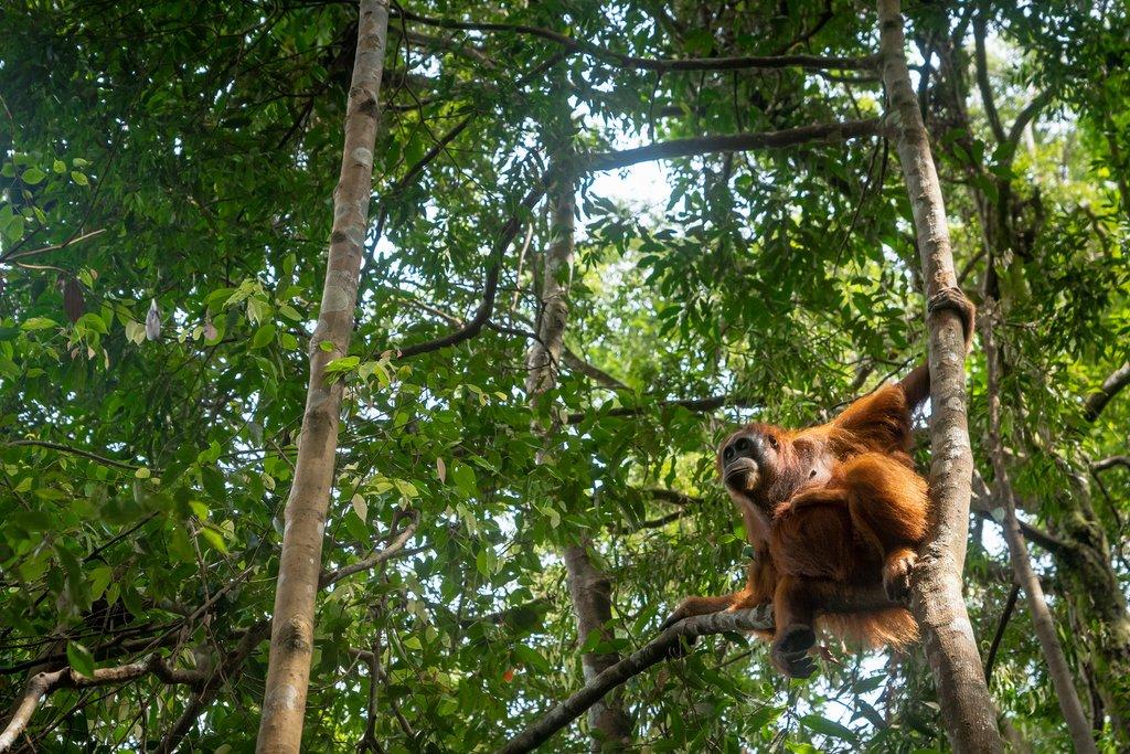 Orangutan in jungle