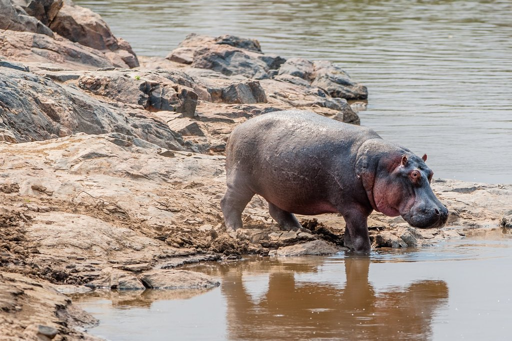 Check out the hippos in and around Lake  Naivasha