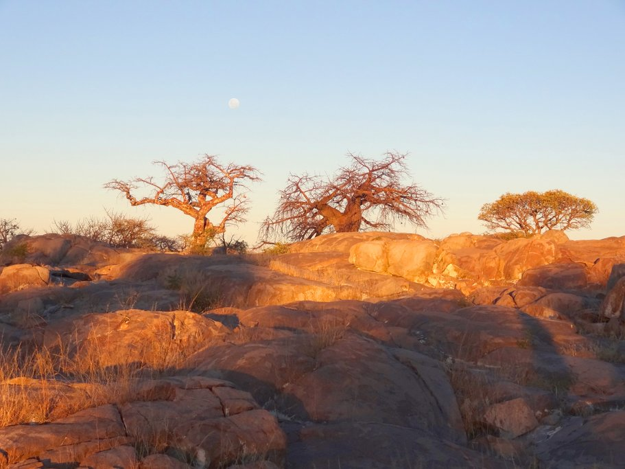 Baobabs at sunset  in the Makgadikgadi Pan