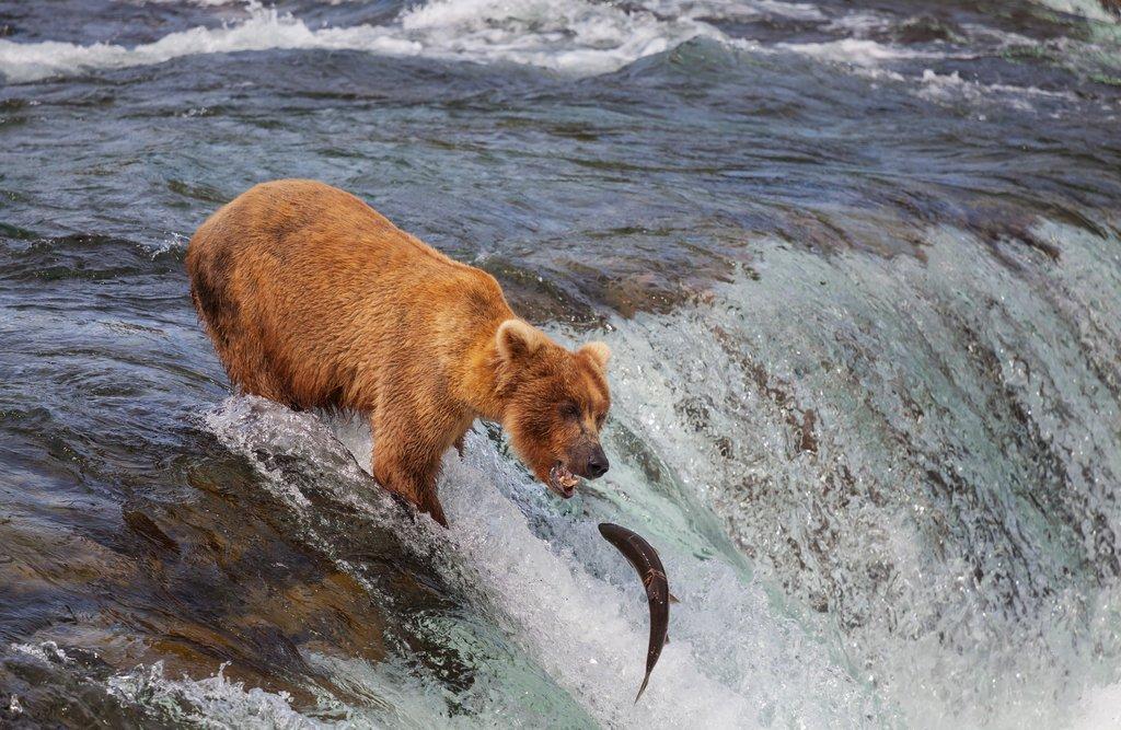 Brown bear fishing in Katmai National Park