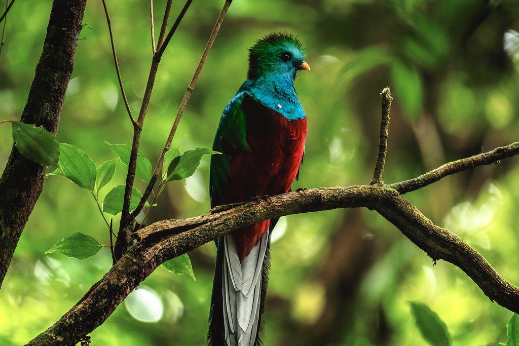 The resplendent quetzal