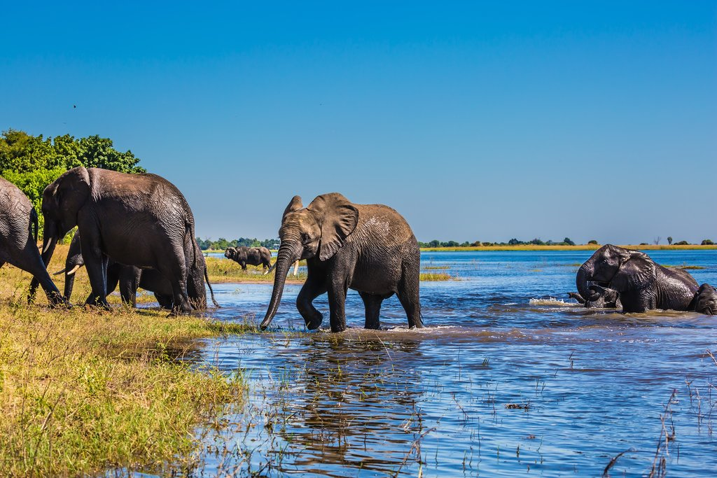 Herd of African Elephants in Chobe National Park