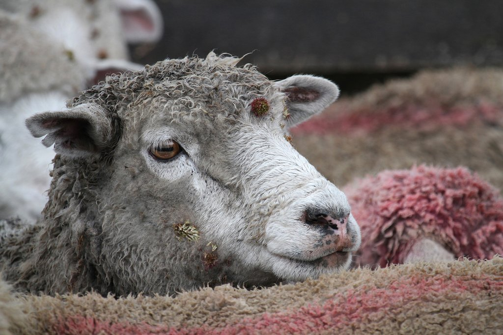 Meet the sheep of a Patagonian estancia
