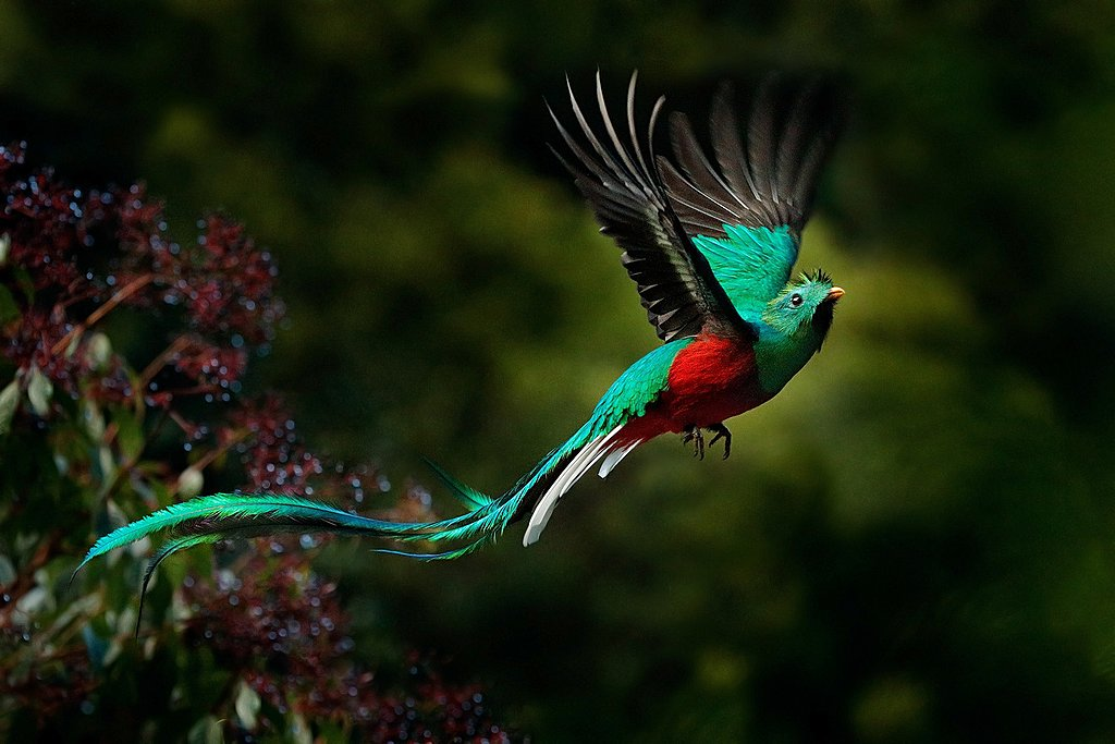 The resplendent quetzal in flight