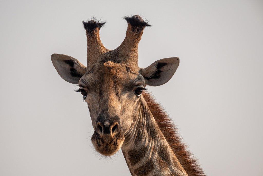 Giraffe Botswana, Moremi Game Reserve