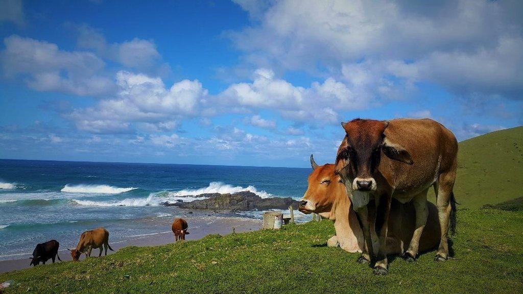 Cows at a Wild Coast beach