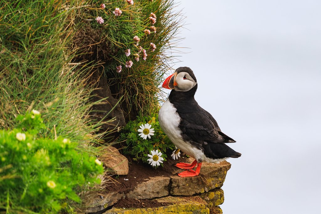 Look for puffin colonies in the Westfjords