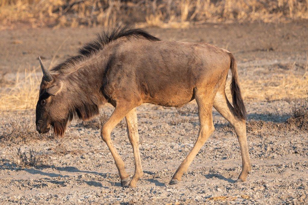 Wildebeest walkin in Makgadikgadi Pan