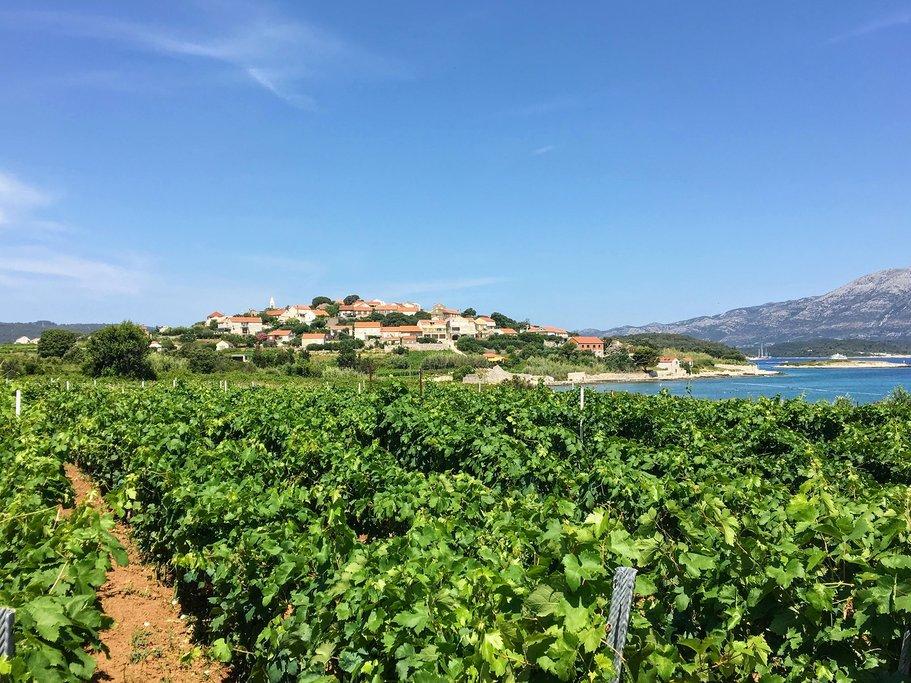 Croatia - Grk grapes growing in Korčula's Lumbarda region