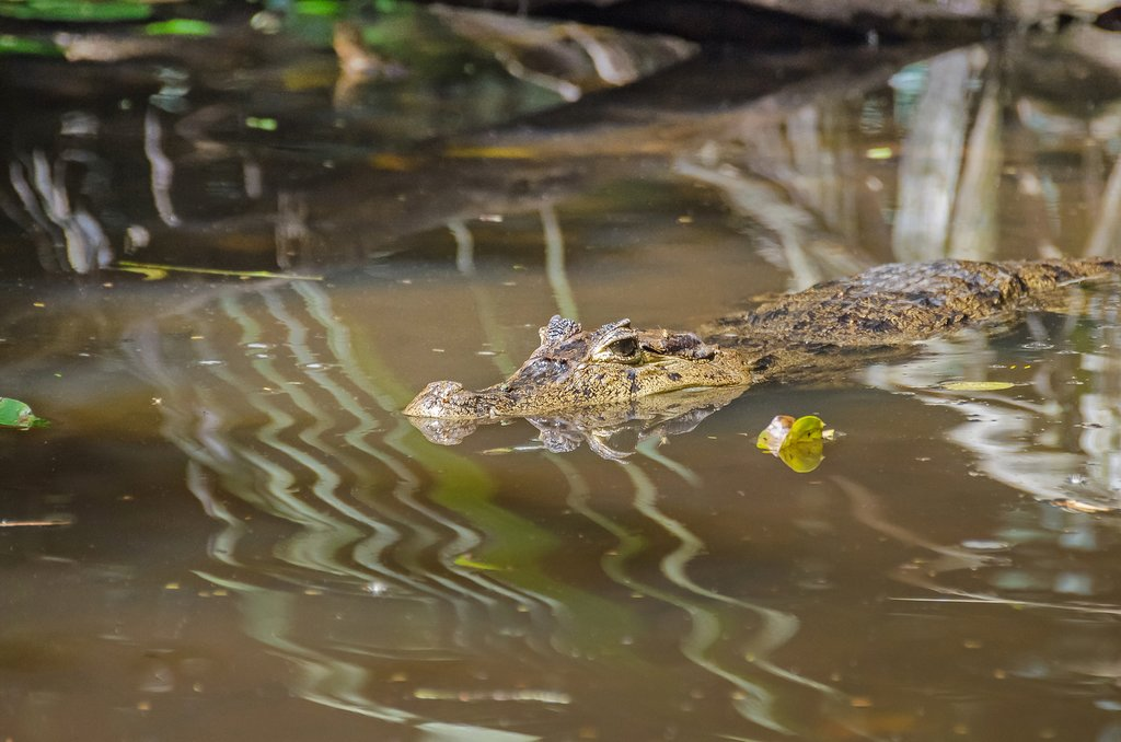 Spectacled caiman in one of many rivers in Tortuguero