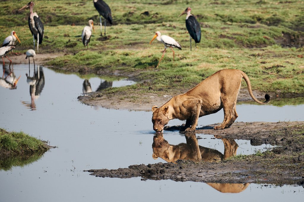 Lioness drinking from a waterwhole in Savute
