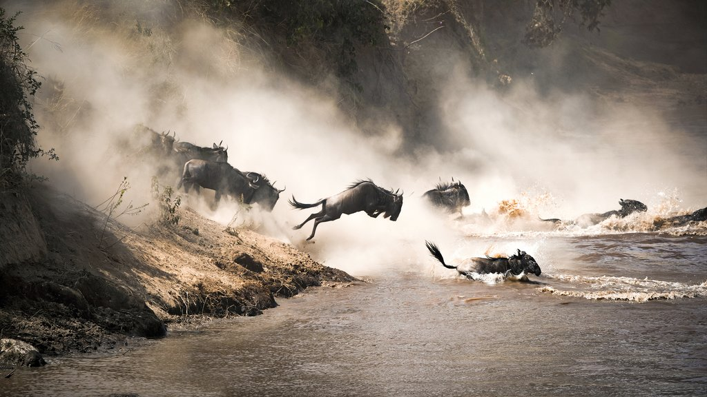 Wildebeest Attempting to Cross the Mara River