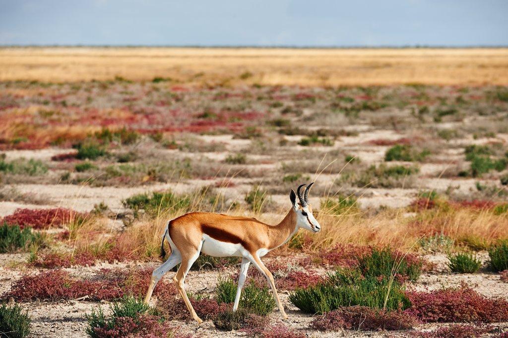A springbok roams through the Kalahari Desert
