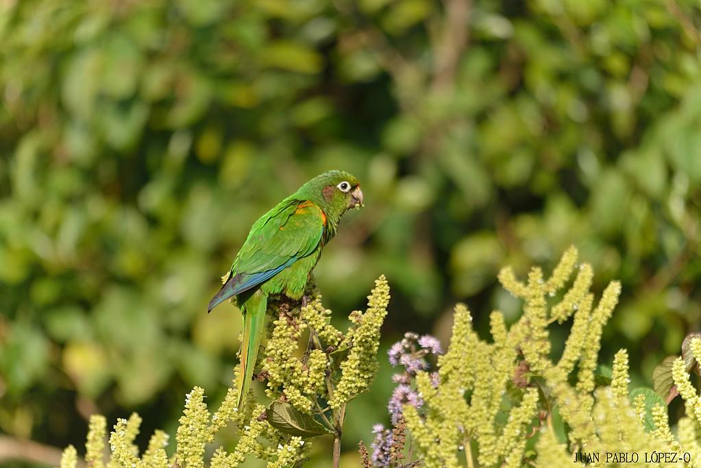 The endangered Santa Marta parakeet