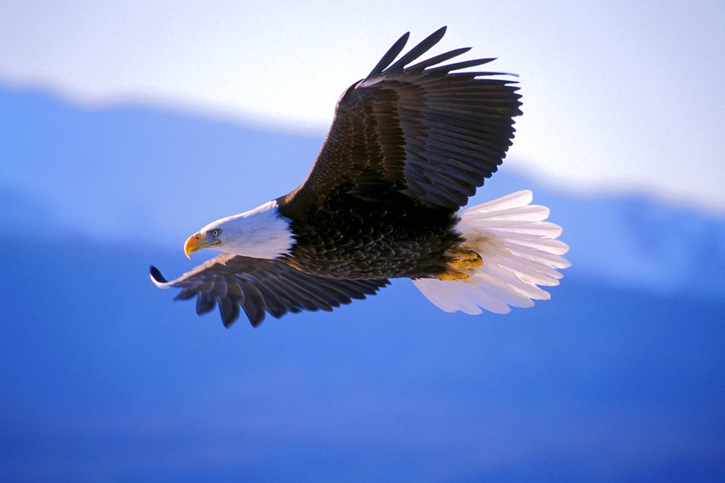 Look for bald eagle soaring in the sky near Haines