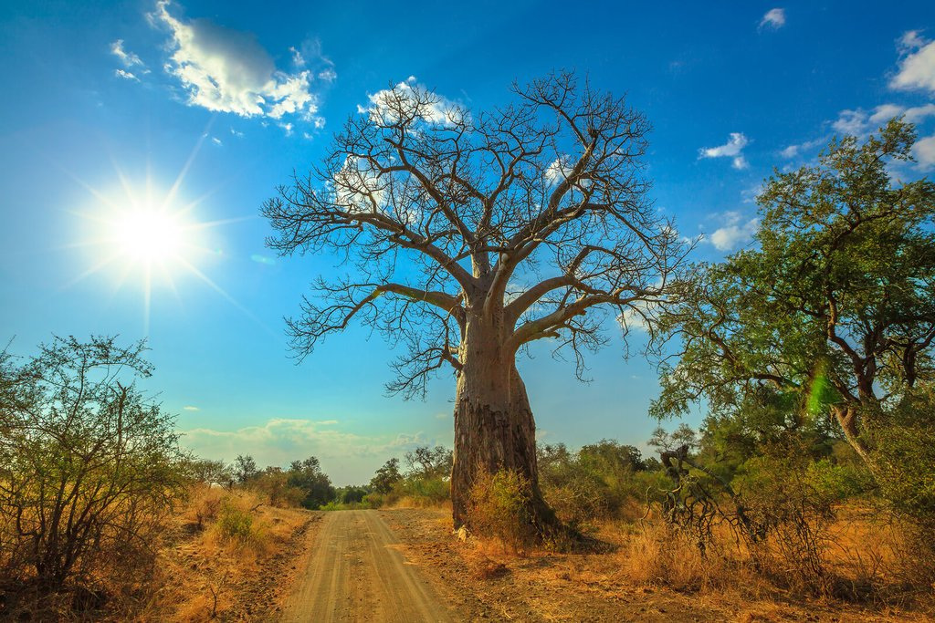 Baobab tree in Limpopo, South Africa