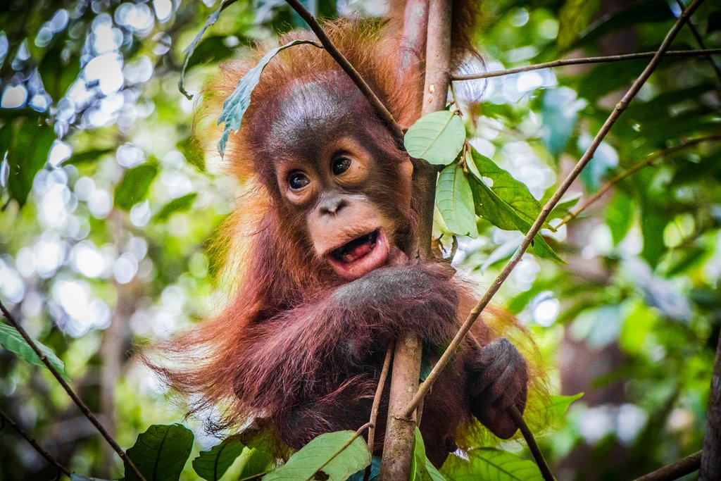 Baby Bornean orangutan
