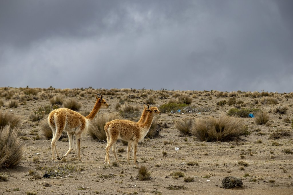Vicuñas on the Ecuadorian plateaus
