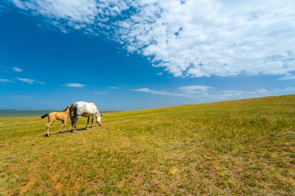 Wild Mongolian horses grazing