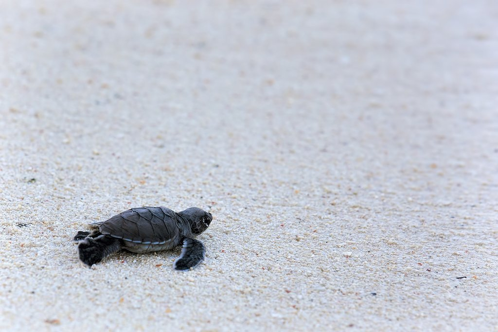 A baby turtle makes its way to the sea