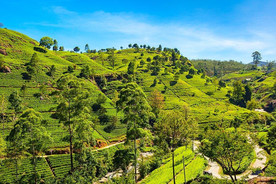 A tea plantation in Nuwara Eliya