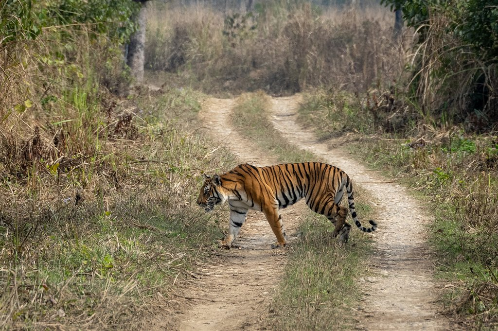 A Royal Bengal tiger in Chitwan
