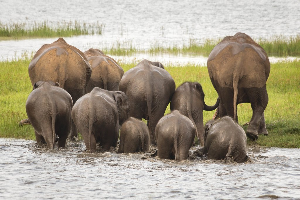 Go on an elephant safari in Minneriya National Park