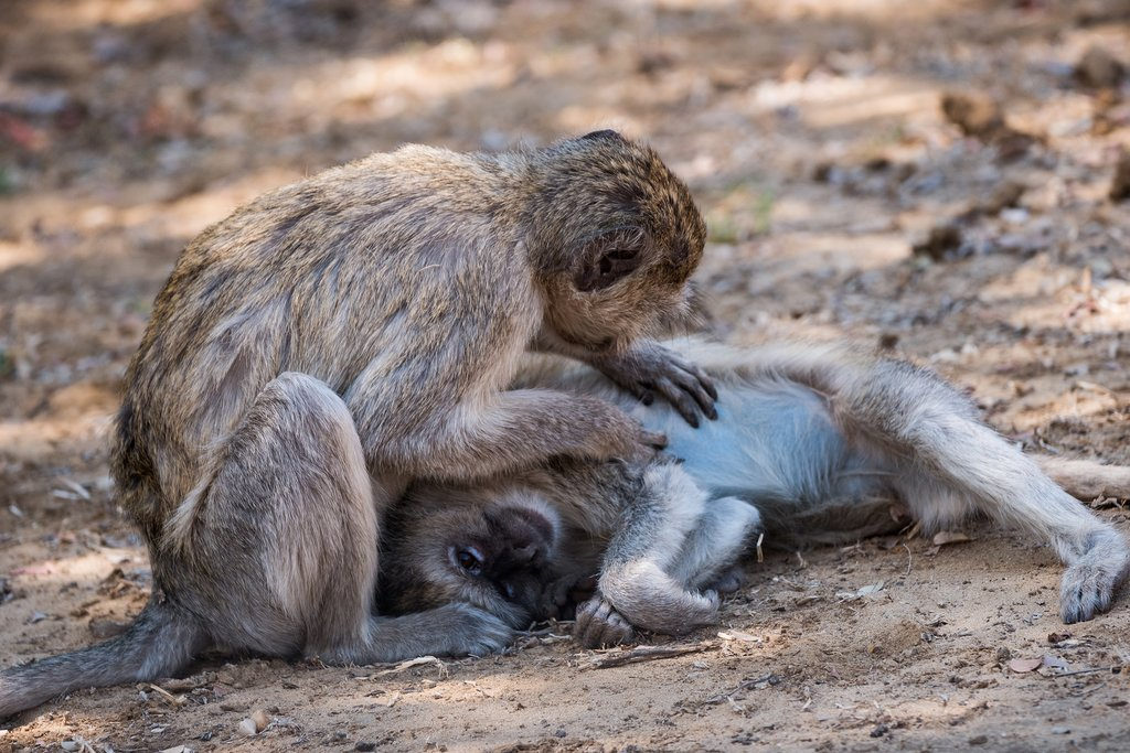 Two Vervet Monkey in Bwabwata National Park, Mahango