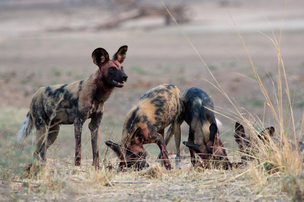 Wild dogs on a game drive