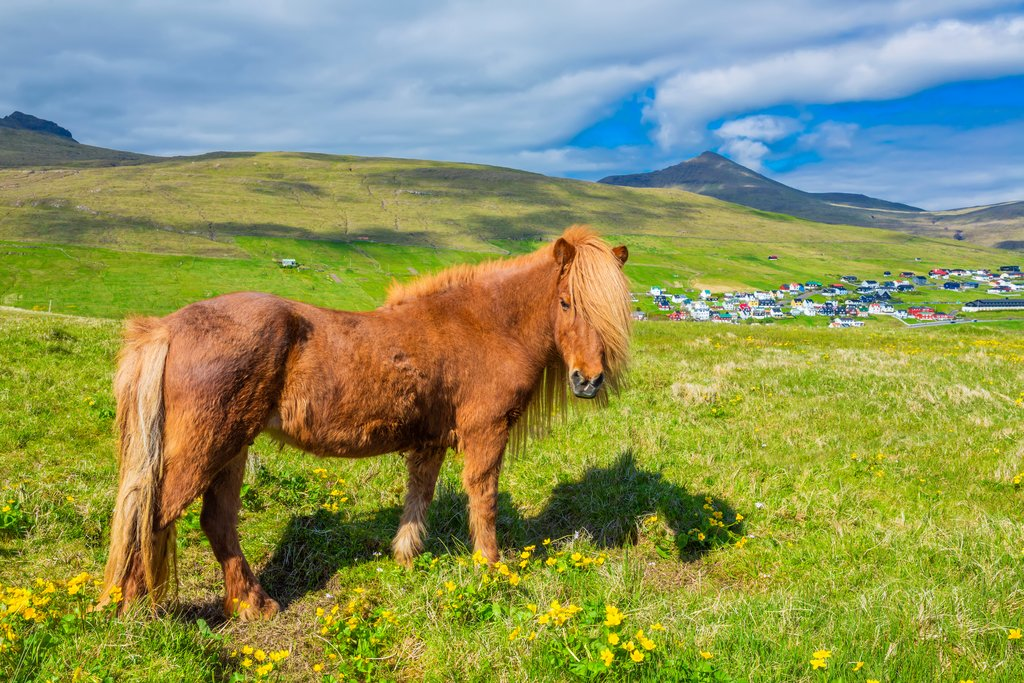 Icelandic horse on the hills near Saksun