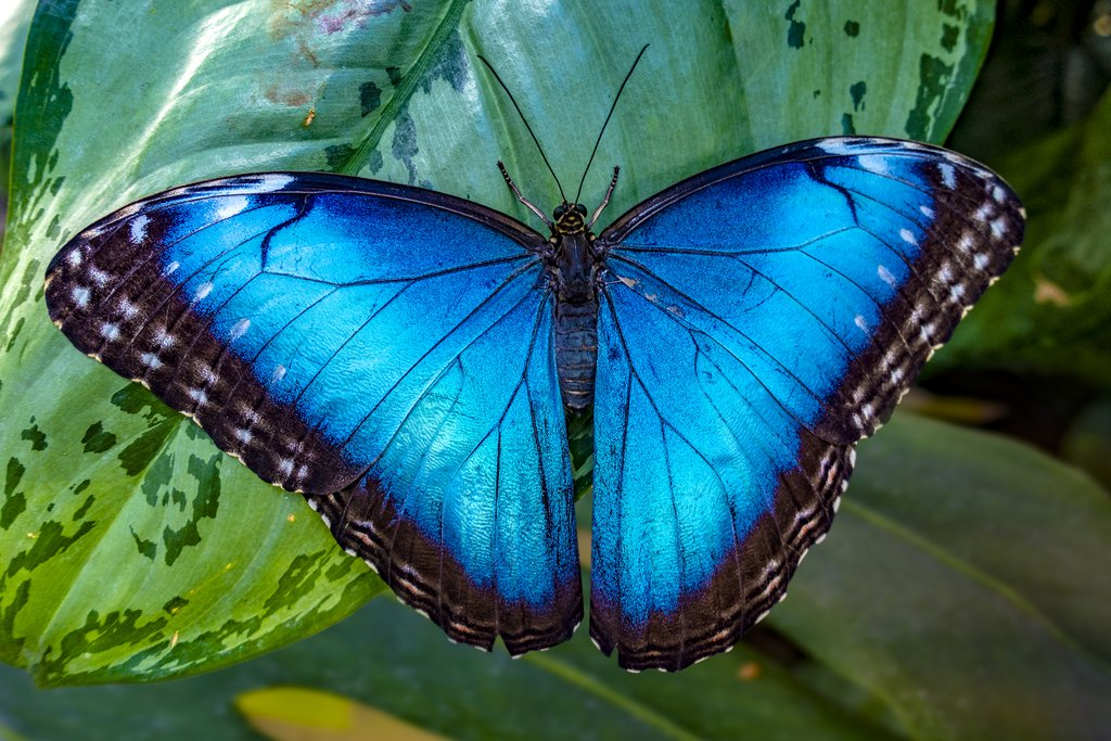 Butterfly species at the reserve include the exotic blue morpho
