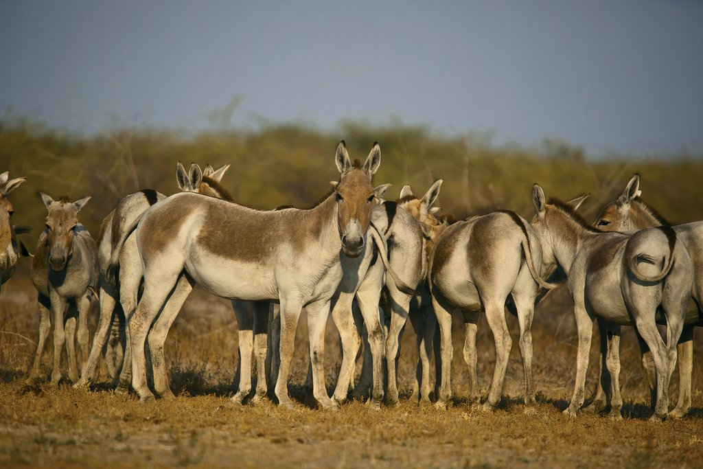 Wild asses on the Rann of Kutch