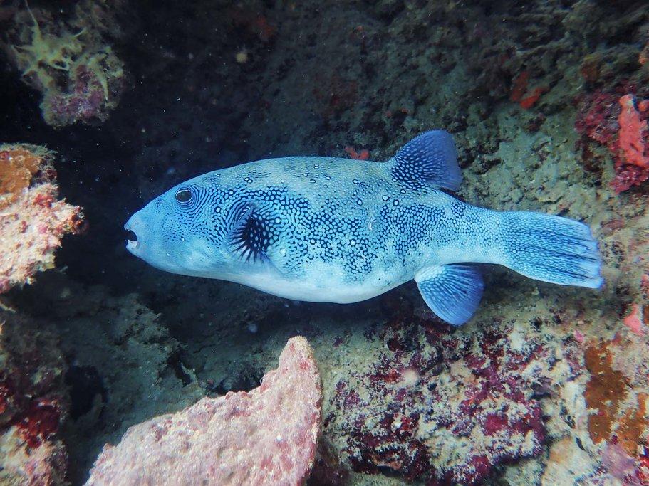 Pufferfish Menjangan