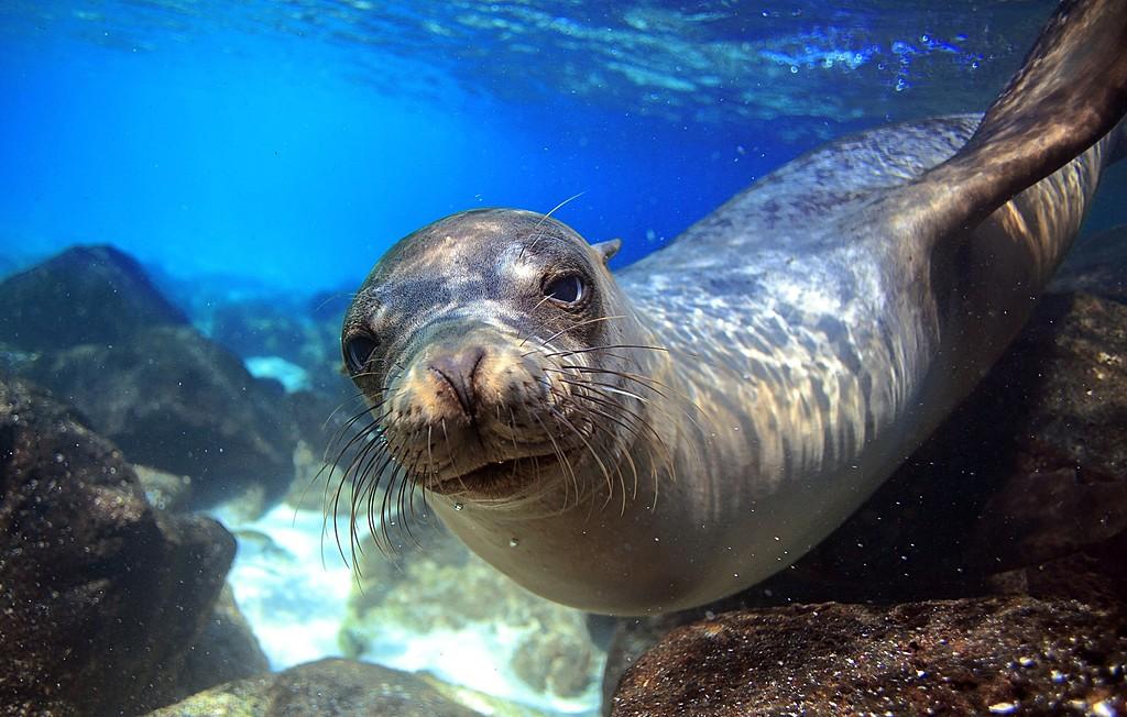 Curious sea lion greeting snorkeller